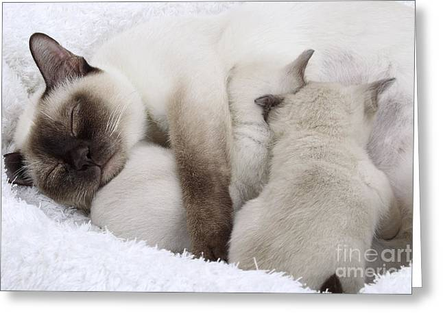 Tonkinese Cat And Kittens Greeting Card by Jean-Michel Labat