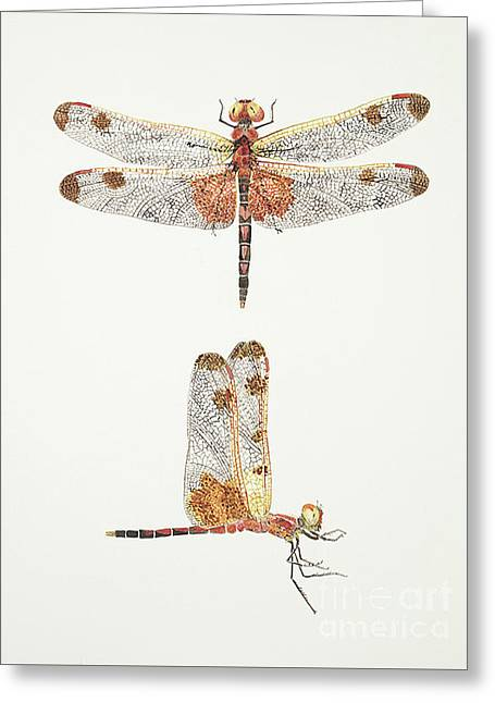 Top And Side Views Of A Male Calico Pennant Dragonfly Greeting Card