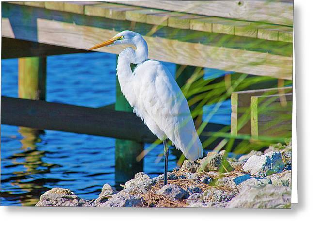 Topsail Egret Greeting Card by Betsy Knapp