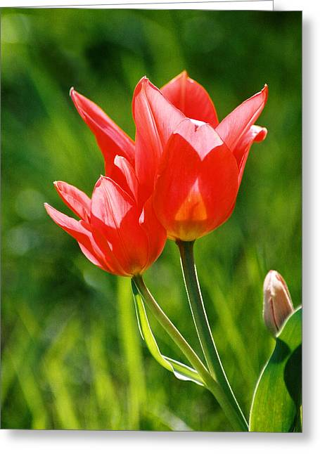 Toronto Tulip Greeting Card by Steve Karol