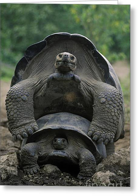 Tortoise Love - Galapagos Greeting Card by Craig Lovell