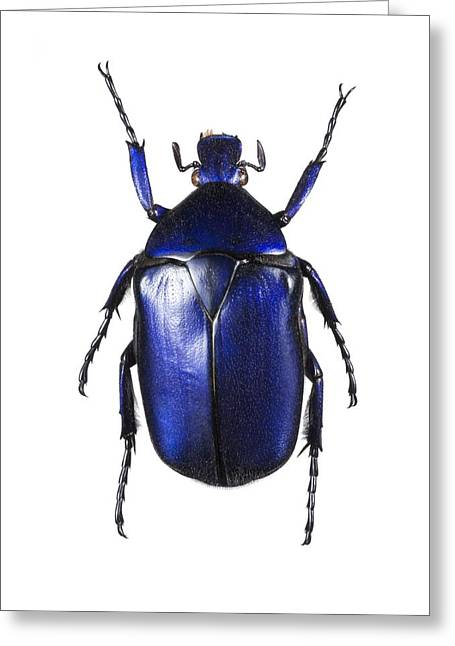 Torynorrhina Flower Beetle Greeting Card by Lawrence Lawry