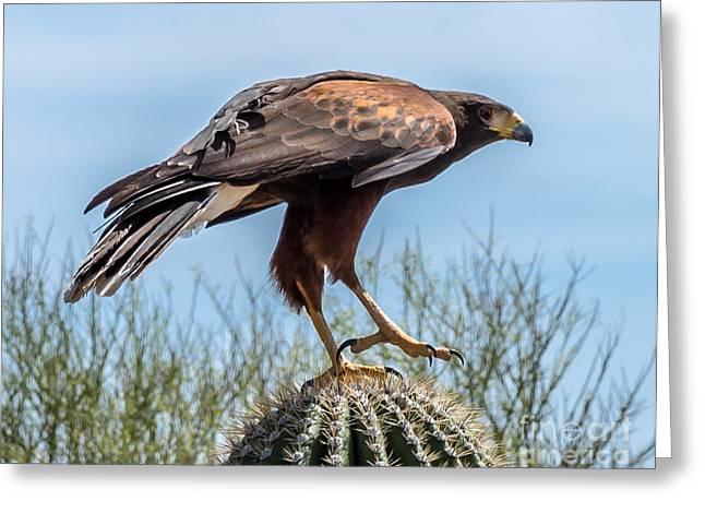 Tough Feet - Desert Hawk Greeting Card by Leo Bounds