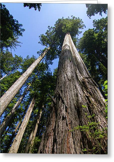Towering Redwoods Greeting Card