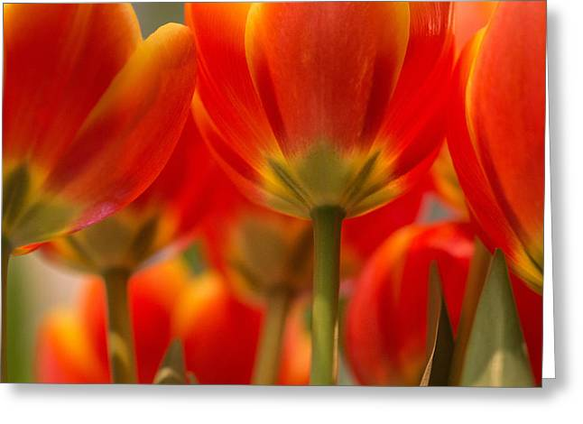 Greeting Card featuring the photograph Towering Tulips  by Julie Andel