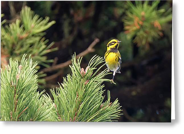 Townsend's Warbler In The Pines Greeting Card