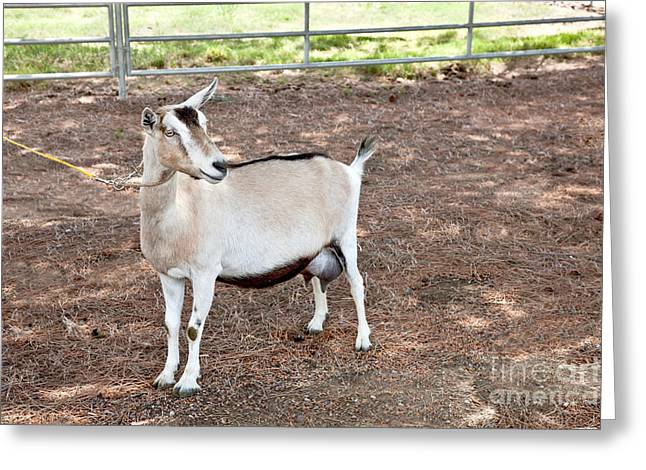 Transgenic Goat, Alpine Breed Greeting Card by Inga Spence
