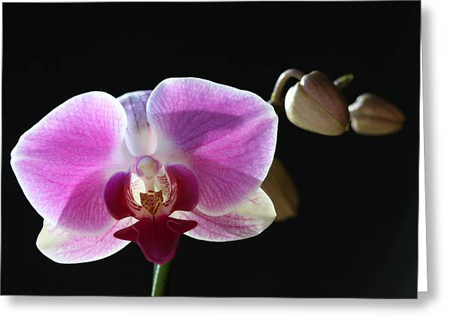 Transparent Pink Orchid Greeting Card by Tammy Pool