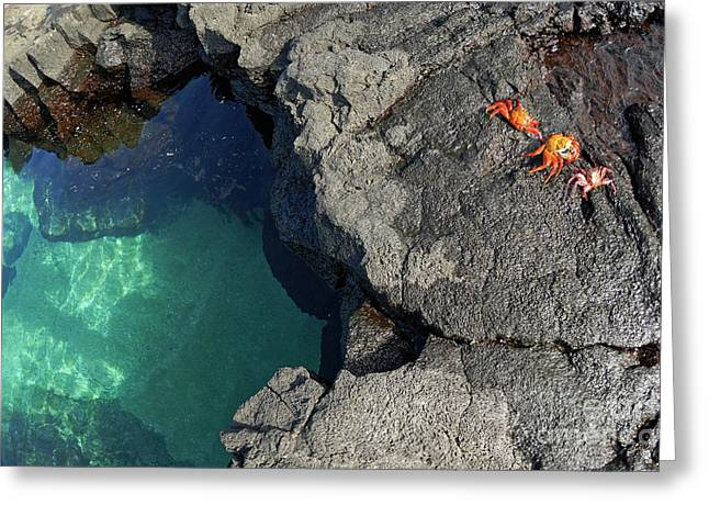 Transparent Waters And Volcanic Rocks With Sally Lightfoot Crabs Greeting Card by Sami Sarkis