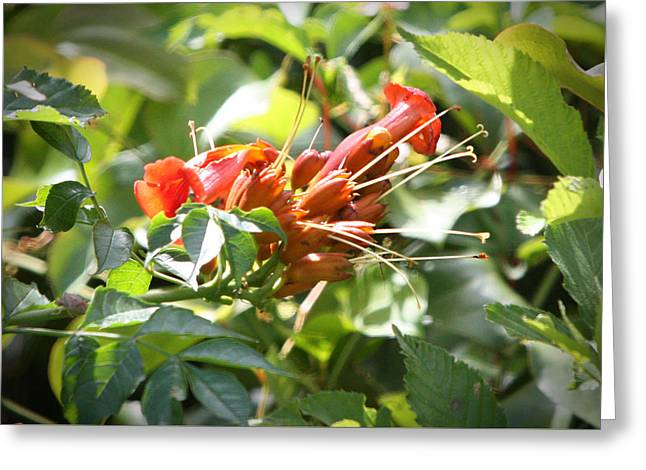 Tropical Trumpet Creeper Greeting Card