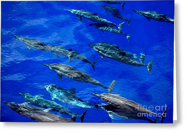 Travelling Spinner Dolphins Greeting Card
