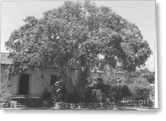 Tree At Carmel Mission Greeting Card