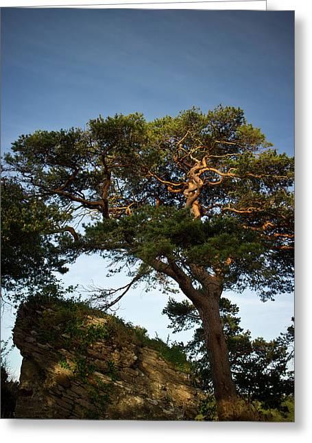 Mor Greeting Cards - Tree at MacCarthy Mor Castle Greeting Card by Douglas Barnett