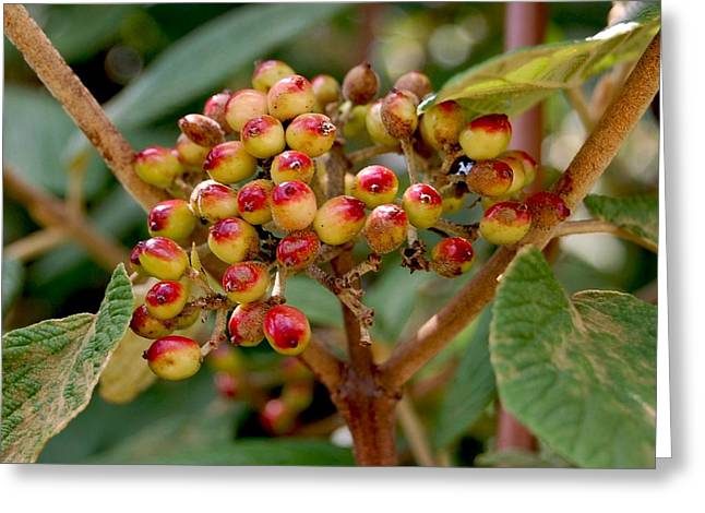 Tree Berries Greeting Card by Lauren  Macko