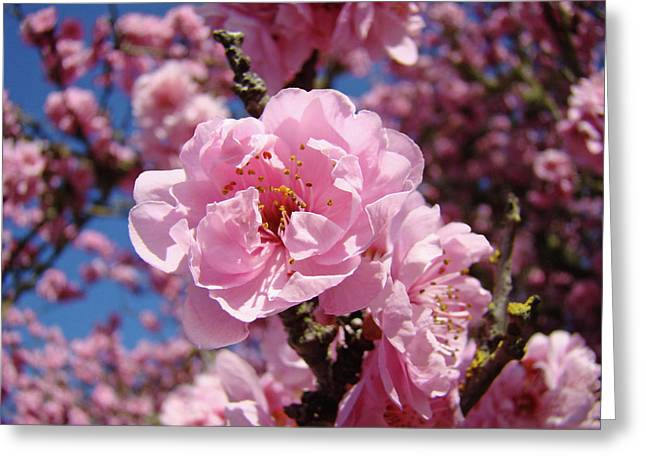 Tree Blossoming Pink Spring Blue Sky Baslee Troutman Greeting Card by Baslee Troutman
