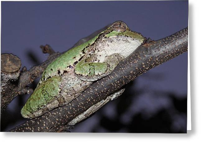 Tree Frog Branch By Dac Greeting Card
