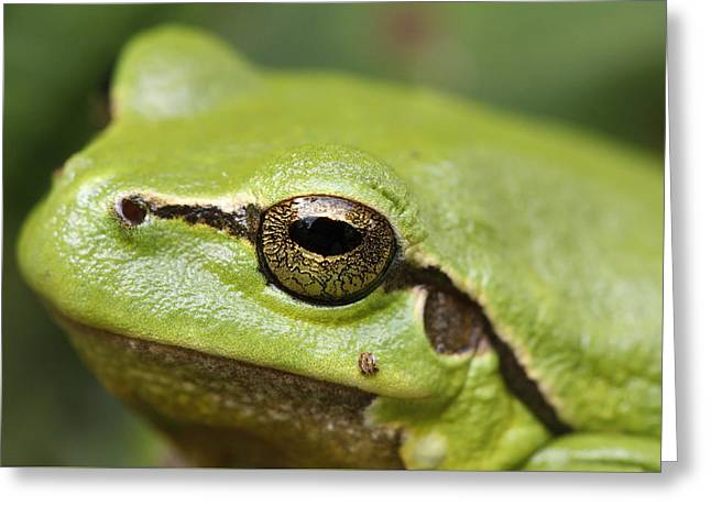 Tree Frog Portrait Greeting Card by Roeselien Raimond