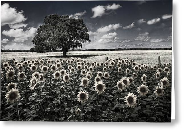 Tree In The Sunflower Field Black And White Greeting Card by Debra and Dave Vanderlaan