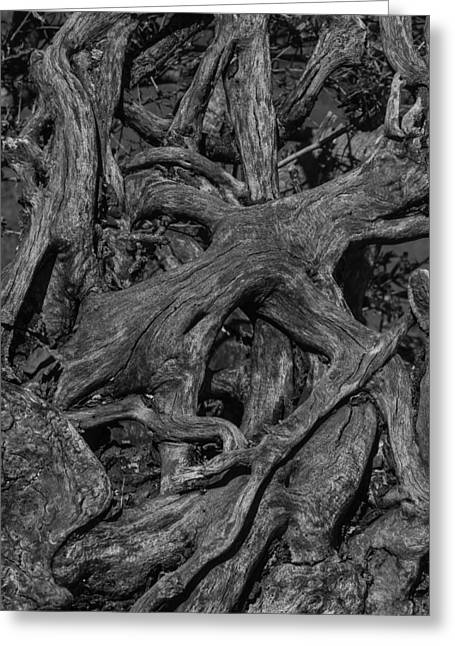 Tree Roots Black And White Greeting Card by Garry Gay