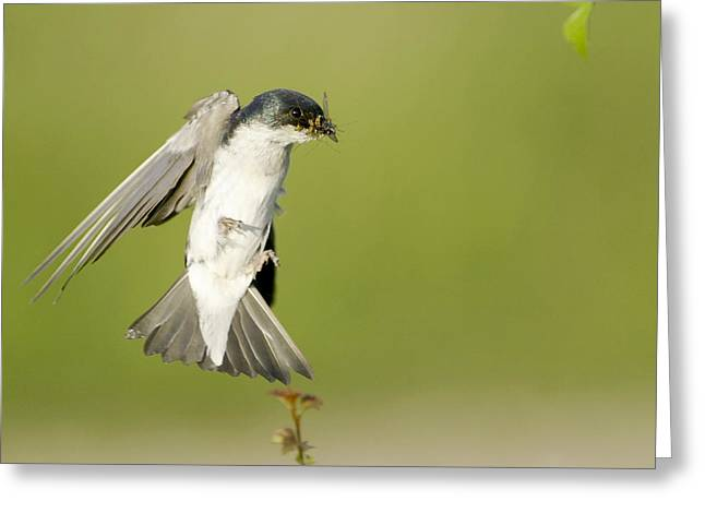 Tree Swallow Captures Dinner In Mid-air Greeting Card