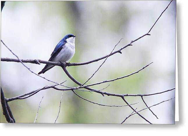 Tree Swallow Greeting Card by David Yunker