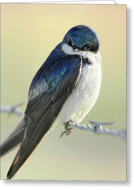 Greeting Card featuring the photograph Tree Swallow by Jennie Marie Schell