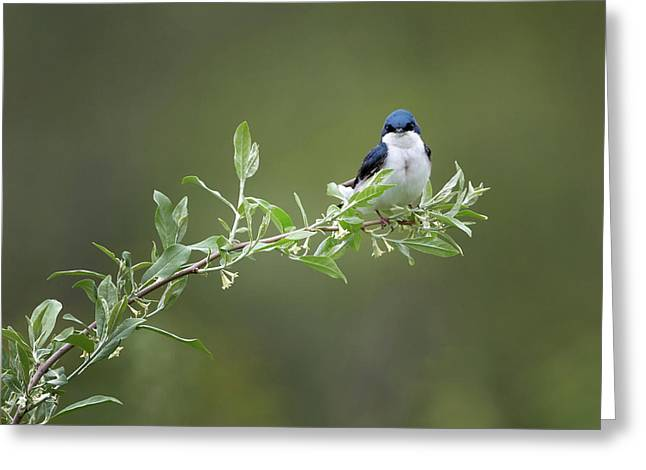 Tree Swallow Male Greeting Card