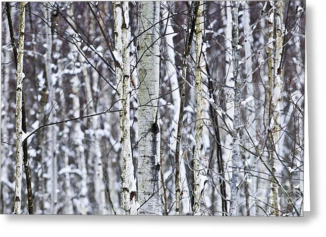 Winter Scenery Greeting Cards - Tree trunks covered with snow in winter Greeting Card by Elena Elisseeva