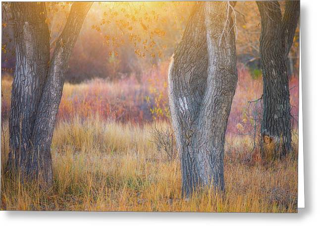 Tree Trunks In The Sunset Light Greeting Card by Darren White