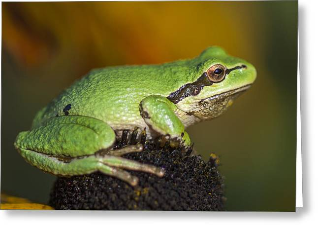 Treefrog On Rudbeckia Greeting Card