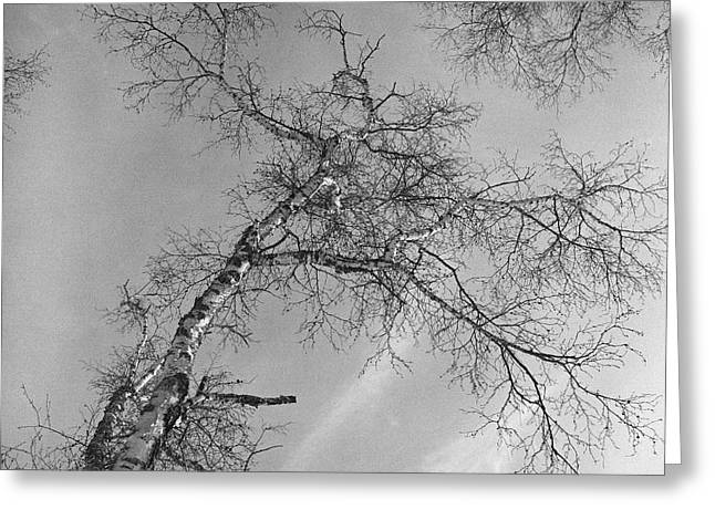 Snowy Day Greeting Cards - Trees Against Winter Greeting Card by Arni Katz