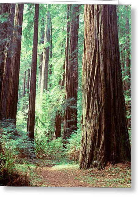Trees Redwood St Park Humbolt Co Ca Usa Greeting Card by Panoramic Images