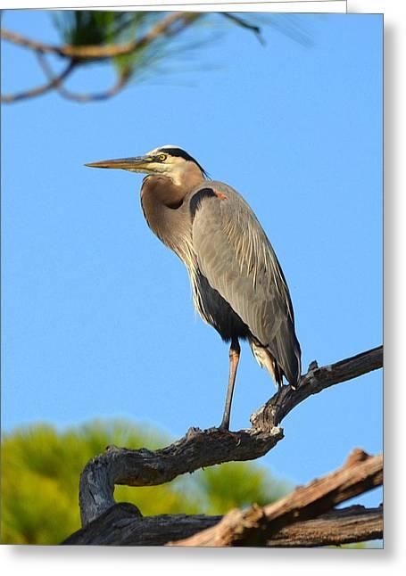 Treetop Great Blue Heron Greeting Card