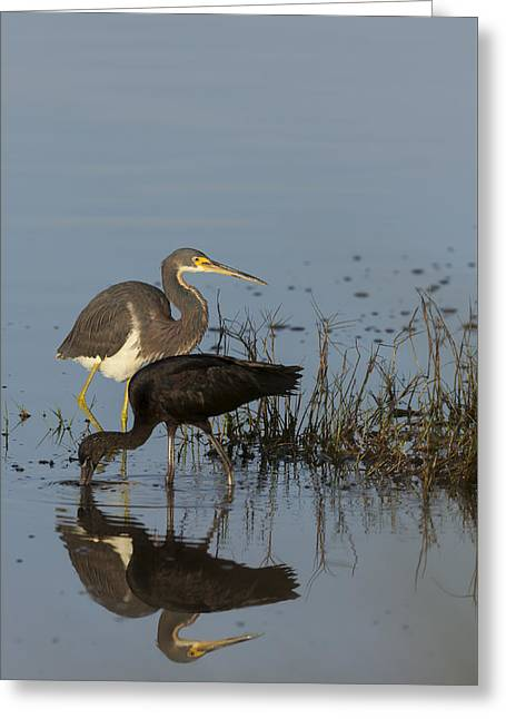 Tri-colored Heron And Glossy Ibis Greeting Card
