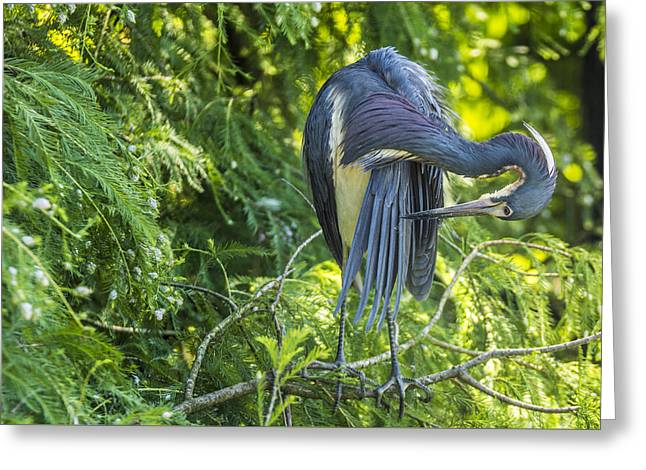 Greeting Card featuring the photograph Tri-colored Heron Grooming by Paula Porterfield-Izzo