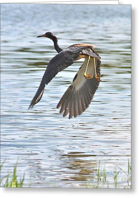 Tri-colored Heron Greeting Cards - Tri Colored Heron over the Pond Greeting Card by Carol Groenen