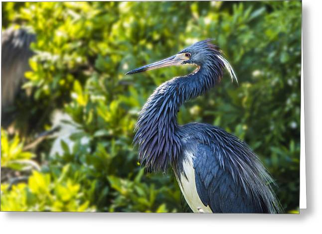 Greeting Card featuring the photograph Tri-colored Heron Plumage by Paula Porterfield-Izzo
