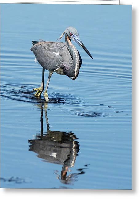 Tricolored Heron Full Tilt Greeting Card
