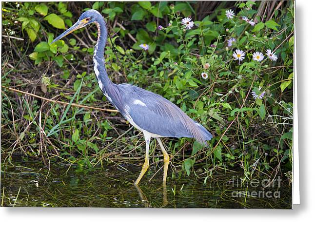Tricolored Heron Hunting Greeting Card by Mike Dawson