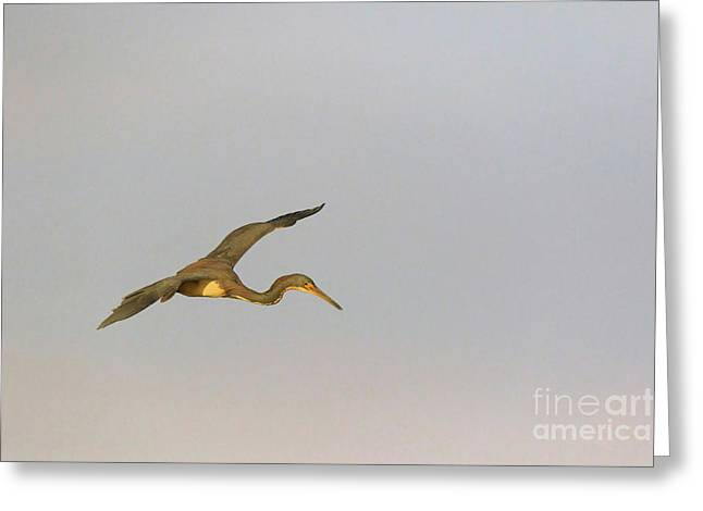 Tricolored Heron In Flight Greeting Card by Louise Heusinkveld