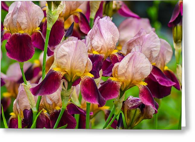 Tricolored Irisses Greeting Card