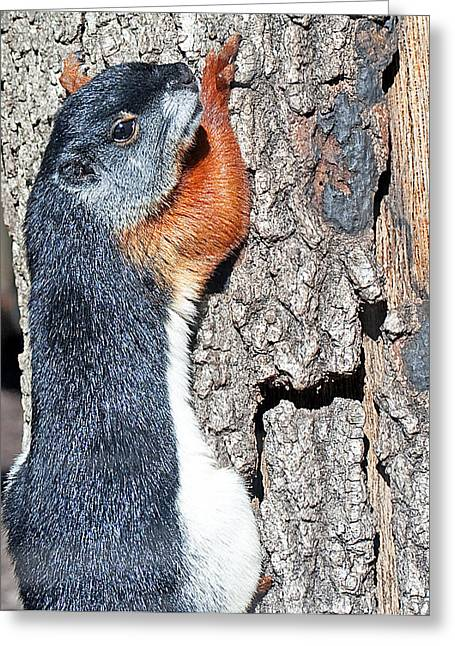 Tricolored Squirrel Greeting Card by Kenneth Albin