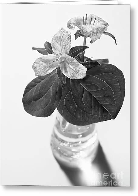 Trilliums In A Vase  Greeting Card