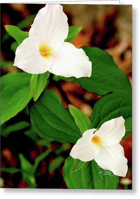 Trilliums Greeting Card