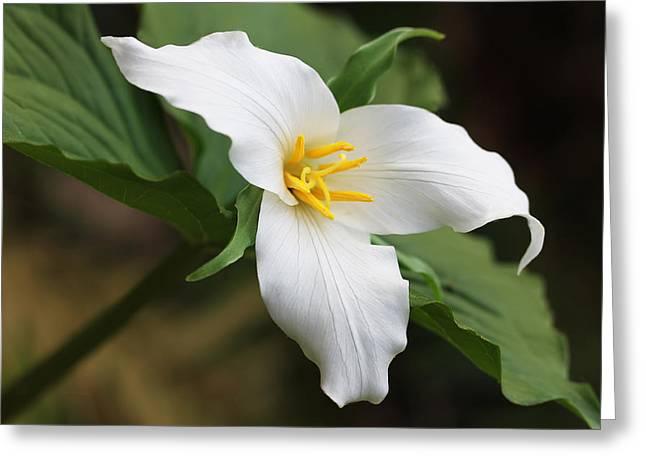 Trillum Wild Flower  Greeting Card by Jennie Marie Schell