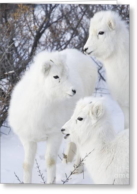 Trio Of Lambs Greeting Card