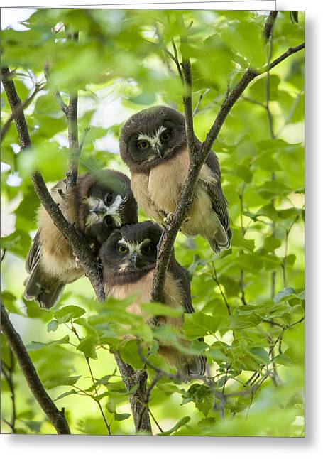 Birch Tree Greeting Cards - Triple Cute Saw-whet Owls Greeting Card by Tim Grams
