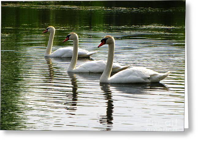 Triplet Swans Greeting Card