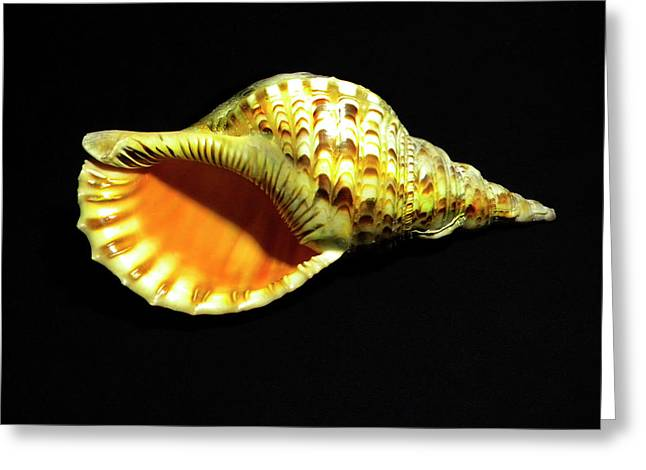 Triton Trumpet Seashell Cymatium Tritonis Greeting Card
