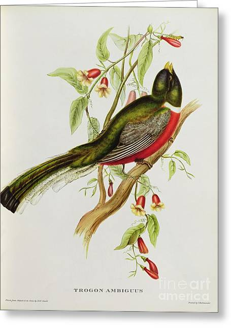 Tropical Bird Greeting Cards - Trogon Ambiguus Greeting Card by John Gould